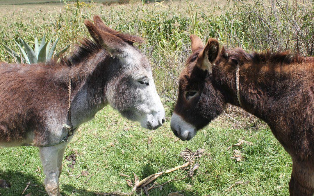 Proyecto: Maras Resiliente: bienestar animal de burros y mulas y reactivación económica de familias en Maras, Cusco, Perú.