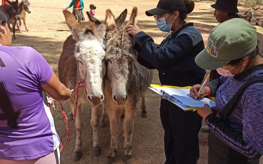 CAMPAÑA DE SANIDAD ANIMAL DE LOS BURROS EN EL DISTRITO DE MARAS, CUSCO.
